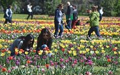 Spring is here! Celebrate by paying a visit to the newly opened Tulip Garden in Scanidcci, where you can pick your own bouquet!