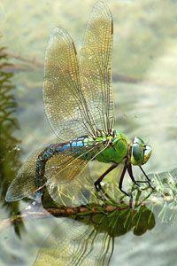 stunning capture of nature's fragile, graceful brilliant beauty!!! gossamir, irridescent transparency!!!!