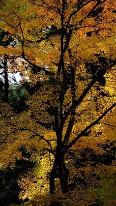 Autumn leaves 黄葉