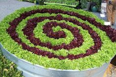 Add some different colored lettuce in a wide open tub or kiddie pool. Make designs such as a peace symbol or like this spiral.