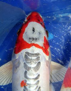 Koi on pinterest carp butterfly koi and koi ponds for Expensive koi fish