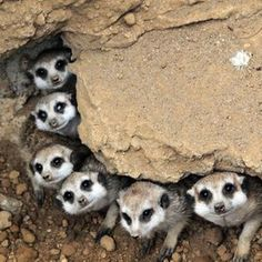Meerkat Line-Up too cute Animals Of The World, Animals And Pets, Baby Animals, Funny Animals, Cute Animals, Nature Animals, Cute Creatures, Beautiful Creatures, Animals Beautiful