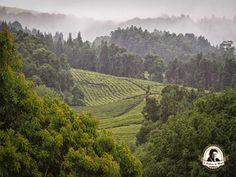 Plantações de chá Gorreana - Açores