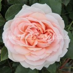 Garden of Roses - Rosa - Polyantharosen - Moderne_Rosen - Rosen - Rosen von Schultheis