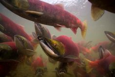 Bristol Bay, Alaska, is home to the world's largest sockeye salmon run. Learn how to help protect Bristol Bay and salmon. (Michael Melford photo for the Renewable Resources Foundation) Aquarium Ornaments, Aquarium Decorations, Salmon Run, Sockeye Salmon, Fishing Basics, Types Of Fish, Fish Art, Bass Fishing, Science And Nature