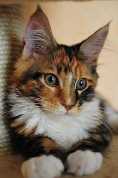 Maine coon India Perfect Cat*UA