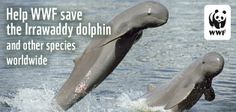 Help WWF save the Irrawaddy dolphin and species worldwide