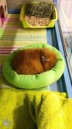 Guinea-pig sleeping in a fleece bed - warm and cosy <3 | Marsun unipussi via Tori.fi