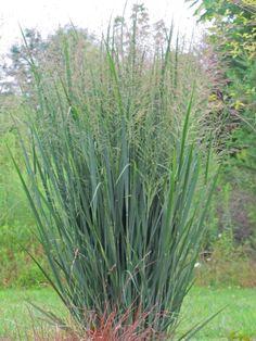 Panicum virgatum (Switch Grass) 'Northwind'