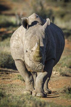 Носорог в Africa Karoo Hunting