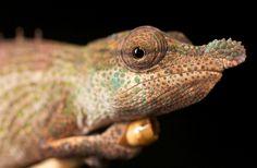 Snub nosed chameleon (Calumma nasutum) | Flickr - Photo Sharing!