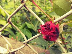 Ionutz Photography: Rose