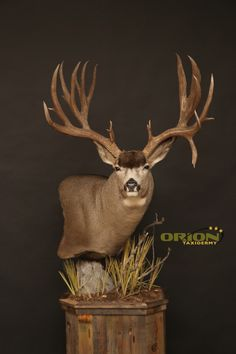 Curved back with welded pin for easy removal from base. Taxidermy Decor, Taxidermy Display, Deer Mount Decor, Whitetail Deer Pictures, Big Deer, Deer Mounts, Wildlife Decor, Deer Skulls, Mule Deer
