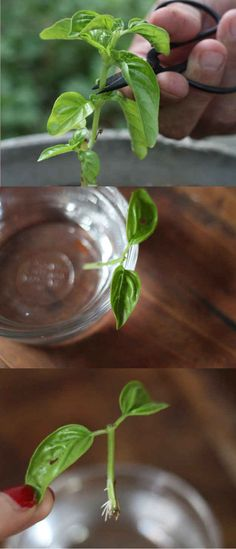Side note: You can actually root and then plant basil straight from a cutting.