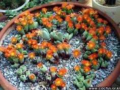 Conophytum stephanii - Google'da Ara