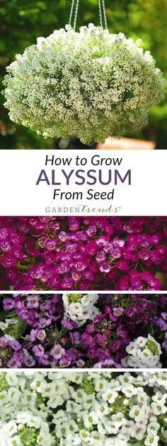 How to Grow Alyssum from seed - The low growing, mounded habit of Alyssum makes it highly suitable for borders and pathways. Consider it also as a fragrant addition to combo planters or even an annual ground cover. #gardentrends #alyssum #flowergarden #flowers