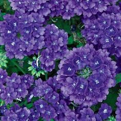BLUE: new for blue denim verbena Growing Flowers, Love Flowers, Planting Flowers, Beautiful Flowers, Garden Hoe, Garden Oasis, Lawn And Garden, Verbena Plant, Garden Front Of House