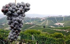Un #patrimonio unico della #Regione #Piemonte: l'uva!