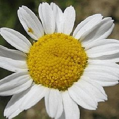 Everwilde Farms - 600 Roman Chamomile Wildflower Seeds - Gold Vault Jumbo Seed Packet ** Hurry! Check out this great item : Gardening Flowers