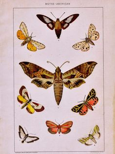 Antique Nature Printable - American Moths - Knick of Time