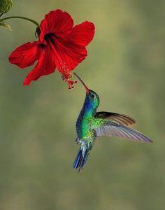 Hummingbird and hibiscus by Graeme Guy Nature Photography Images Colibri, Art Colibri, Pretty Birds, Beautiful Birds, Animals Beautiful, Cute Animals, Hummingbird Painting, Hummingbird Tattoo, Tattoo Bird