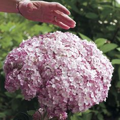 Hydrangea Incrediball Blush