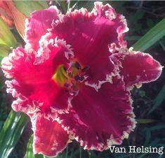 Photo of Daylily (Hemerocallis 'Van Helsing') uploaded by gsutche Strange Flowers, Exotic Flowers, Tropical Flowers, Amazing Flowers, Beautiful Flowers, Purple Flowers, Cactus Flower, Flower Seeds, Flower Pots