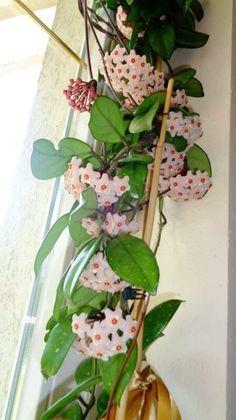 Outdoor Plants, Garden Plants, Outdoor Gardens, Hoya Plants, Flower Show, Types Of Plants, Beautiful Birds, Container Gardening, Bonsai
