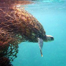 Turtle-caught-in-net1.jpg (220×220)