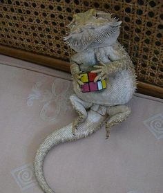 Bearded dragon with a rubix cube! My next pet getting one in about a month or so! I can't wait