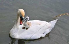 Momma Swan giving its baby a ride Swan Love, Beautiful Swan, Beautiful Birds, Animals Beautiful, Bird Pictures, Cute Pictures, Cute Baby Animals, Animals And Pets, Cygnus Olor