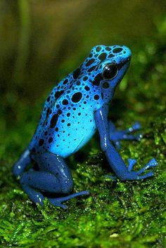 """Este sapo se chama """"seta azul"""", basicamente porque ele é terrívelmente venenoso e os índios da Amazônia usam sua pele tóxica para envenenar as pontas de suas flechas."""