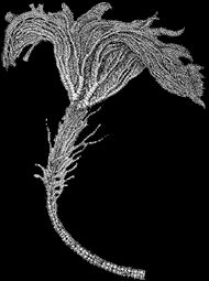 Crinoides Pentacrinus du jurassique Boulonnais
