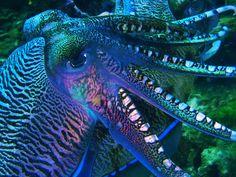 cuttlefish - Google Search Wizard Staff, Cuttlefish, Sea Slug, Ocean Life, Jellyfish, Sea Creatures, Under The Sea, Octopus, Animals