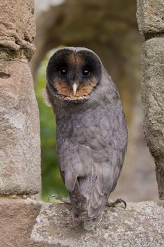 Sweep - Black Barn Owl, by John Harding  They usually do not survive more tan 18 hours as the are killed by their confused mothers or other Owls.They only survive if born in captivity and would still be attacked by other Owls if released into the wild as adult birds. They come from England and are the opposite of albino.