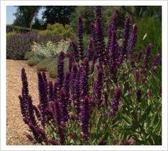 Salvia nemorosa 'Kate Glenn' | Lambley Nursery