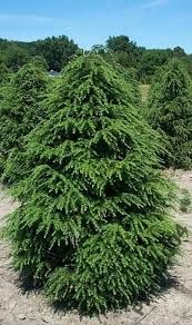 34 Best Thuja Images Thuja Occidentalis Gardens Landscaping