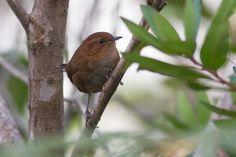 corruíra-do-tepui (Troglodytes rufulus) por Fernando Farias | Wiki Aves - A Enciclopédia das Aves do Brasil