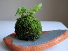 Moss ball--the new addition to the moss family in Part 2 of the Kokedama Making Series on EmmyMade in Japan.