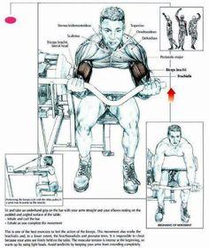 Biceps brachii.