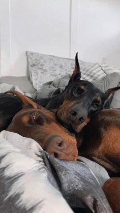 Perro Doberman Pinscher, Doberman Dogs, Dobermans, Blue Doberman, Cute Baby Animals, Animals And Pets, Funny Animals, Chien Dobermann, Scary Dogs