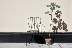 fig tree envy