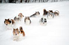 Laureate Shelties: Winter Sports