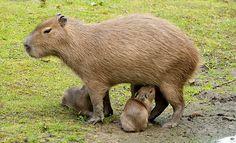 Baby Animals, Cute Animals, Wild Animals, Capybara, Animal 2, Animal House, Rodents, Guinea Pigs, Beautiful Creatures