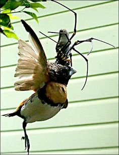 Golden Orb Weaver spider eating a Chestnut-breasted Mannikin finch.  I always wanted to go to Australia...not so much anymore.