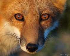 Red fox / Renard roux by Eric Bégin, via Flickr  -- haunting eyes!