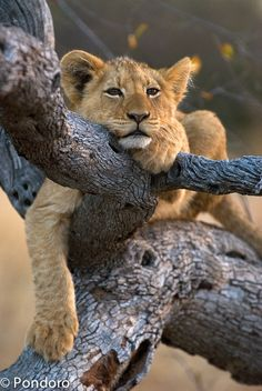 Lion cub at Pondoro by Robert Prehn