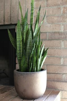 """For this week's botanical inspiration I'm sharing the hardy snake plant. This one is for those among you who claim to be """"not plant people"""". It's virtually indestructible. Happy even in low light conditions and infrequent watering, Sansevieria is the perfect botanical for any space or person. Its stiff leaves and beautiful coloration allow it to stand alone or to be grouped with other plants for contrast. Ours flanks our fireplace in a ceramic pot similar in color to the brick hea..."""