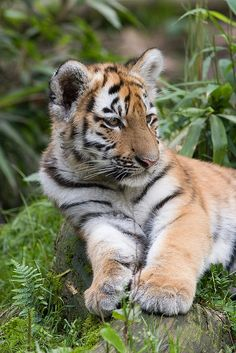 Tiger cub | by A.J. Haverkamp