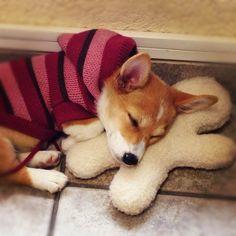 pembroke welsh corgi sleeping